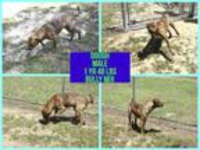 Adopt Dough a Staffordshire Bull Terrier