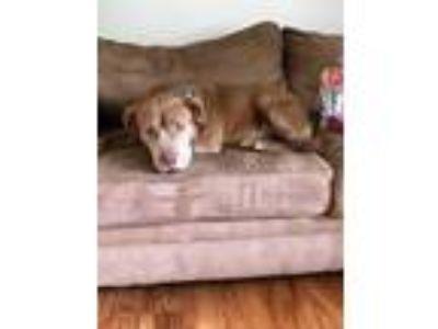 Adopt Dallas a Labrador Retriever, Chow Chow