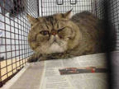 Adopt FITI a Gray or Blue Persian / Mixed (long coat) cat in Doral