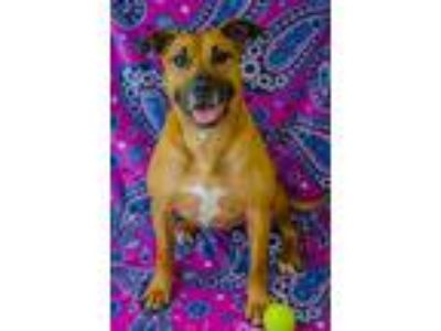 Adopt Babs a Pit Bull Terrier
