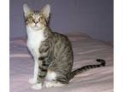 Adopt Spice a Domestic Short Hair, Tabby
