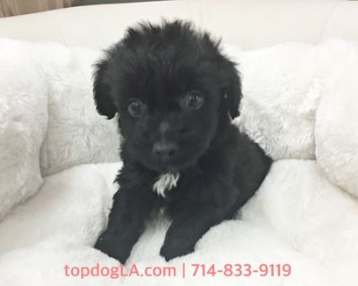 Yorkshire Terrier-Poodle (Toy) Mix PUPPY FOR SALE ADN-76736 - Yorkiepoo Male Oreo