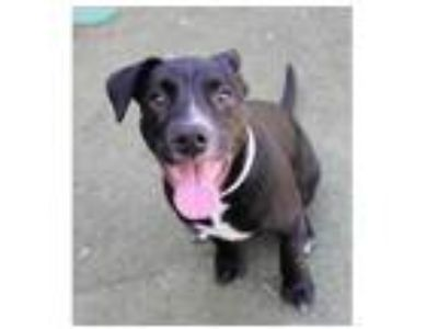 Adopt JET a Black - with White American Pit Bull Terrier / German Shorthaired