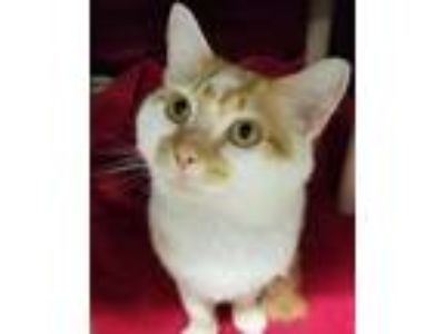 Adopt Edison a Domestic Short Hair