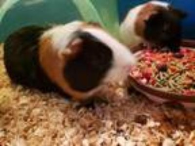 Adopt Crackers a Brown or Chocolate Guinea Pig / Guinea Pig / Mixed small animal