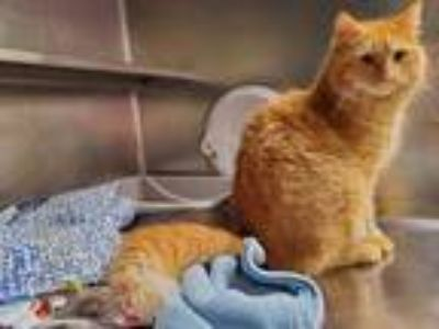 Adopt Colby a Orange or Red Domestic Mediumhair / Domestic Shorthair / Mixed cat