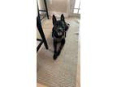 Adopt Kobe a Black Husky / Rottweiler dog in Hialeah, FL (25889457)