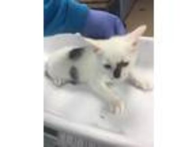 Adopt Von a White Domestic Shorthair / Domestic Shorthair / Mixed cat in