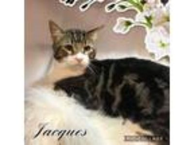 Adopt Jacques a Domestic Short Hair