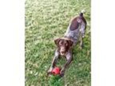 Adopt Lexee a German Shorthaired Pointer