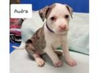 Adopt Audra a Catahoula Leopard Dog / Border Collie / Mixed dog in Laingsburg