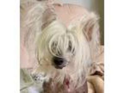 Adopt Dolce a White - with Tan, Yellow or Fawn Chinese Crested / Mixed dog in