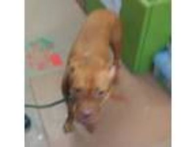Adopt Summer a Pit Bull Terrier, Mixed Breed