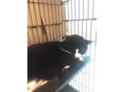 Adopt Mitchu a All Black Domestic Shorthair / Domestic Shorthair / Mixed cat in