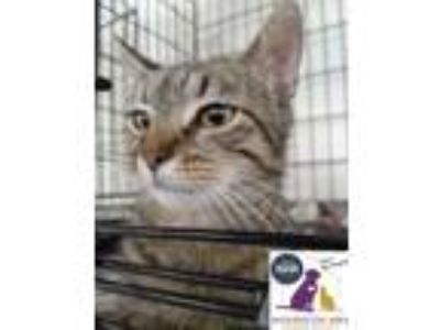 Adopt Rose a Brown Tabby Domestic Shorthair (short coat) cat in Eighty Four