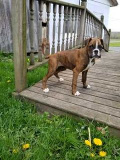 Boxer PUPPY FOR SALE ADN-78874 - Flashy brindle female