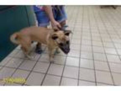 Adopt a Brown/Chocolate - with Black German Shepherd Dog / Mixed dog in West