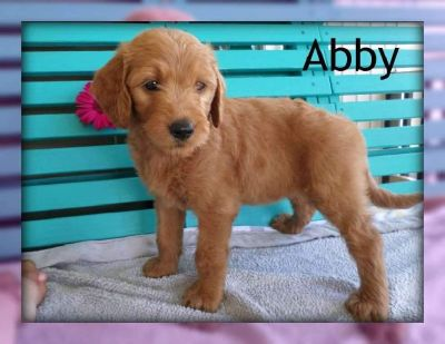Abby: Female F1 Goldendoodle