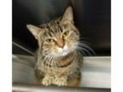 Adopt Aja a Tiger Striped Domestic Shorthair (short coat) cat in Wilmington