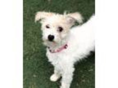 Adopt Lolly a Poodle, Terrier