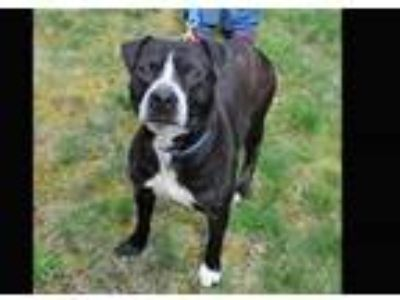 Adopt Smudge a Pit Bull Terrier