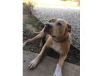 Adopt BELLA - Courtesy a Tan/Yellow/Fawn - with White Pit Bull Terrier / Mixed