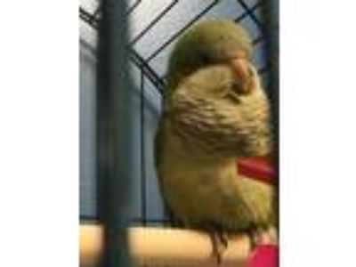 Adopt Quackie Chan a Green Parrot - Other / Parrot - Other / Mixed bird in