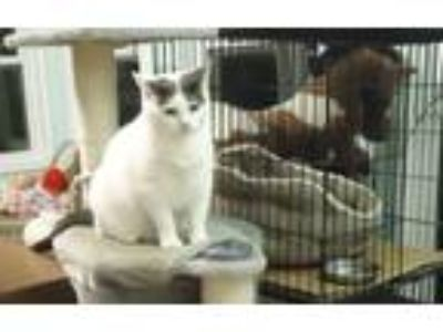 Adopt Tara a White (Mostly) Domestic Shorthair (short coat) cat in Dale City