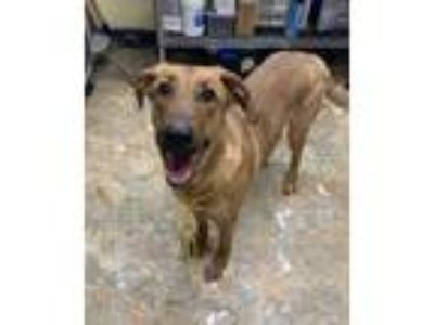 Adopt Ginger a Red/Golden/Orange/Chestnut Coonhound / Labrador Retriever / Mixed