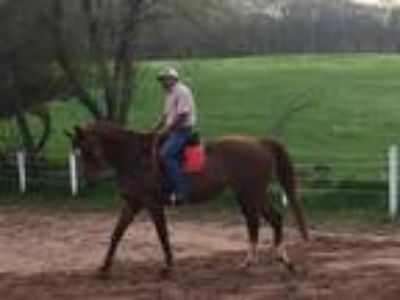 Adopt Scarlett a Warmblood