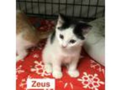 Adopt Zeus a Domestic Short Hair