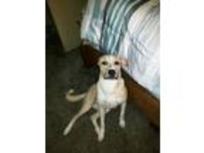 Adopt Daysie a Tan/Yellow/Fawn - with White Labrador Retriever dog in Blanchard