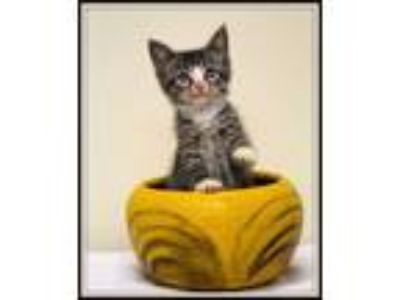 Adopt Uno a Domestic Short Hair