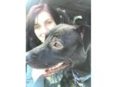 Adopt Allie a Black - with White Labrador Retriever / Mixed dog in Titusville
