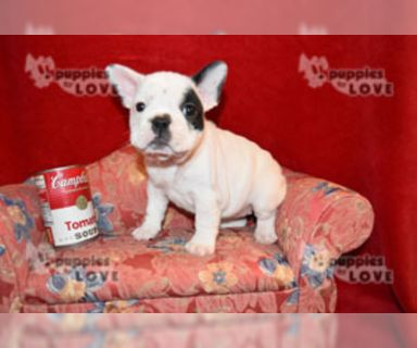 French Bulldog PUPPY FOR SALE ADN-130782 - AKC SMALL FULL REGISTRATION