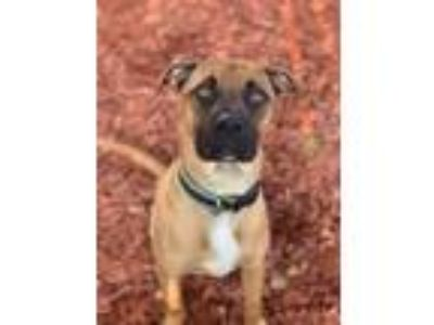 Adopt Levi a Boxer / Terrier (Unknown Type, Small) / Mixed dog in Gilmer