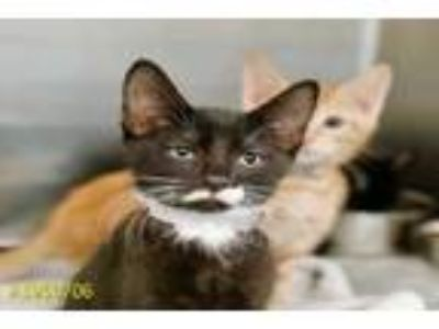 Adopt MUFFET a Black & White or Tuxedo Domestic Shorthair / Mixed (short coat)