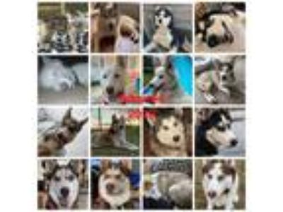 Adopt Foster homes needed a Siberian Husky
