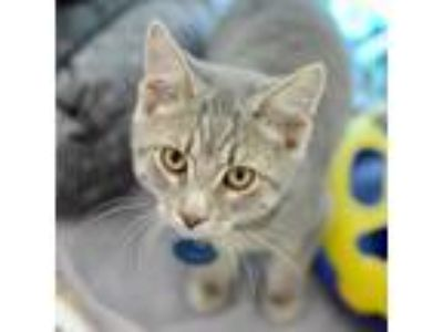 Adopt Duffy a Gray or Blue Domestic Shorthair / Domestic Shorthair / Mixed cat