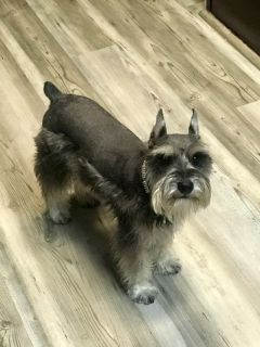 AKC MINIATURE SCHNAUZER FEMALE