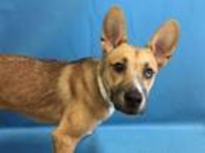 Adopt Celine a Shepherd, Mixed Breed