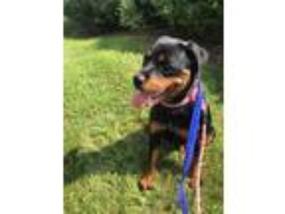 Adopt Jenny a Rottweiler, Mixed Breed