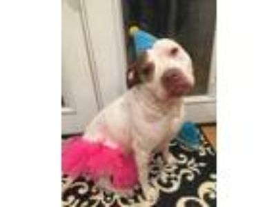Adopt Layla a Tan/Yellow/Fawn - with White Pit Bull Terrier / Mixed dog in