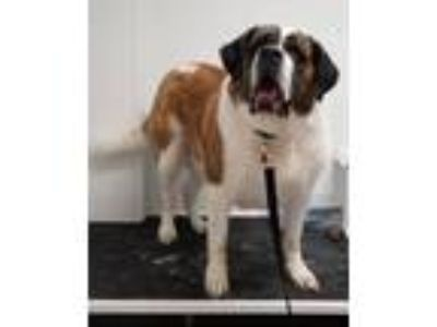 Adopt Cashmere a Tricolor (Tan/Brown & Black & White) St.