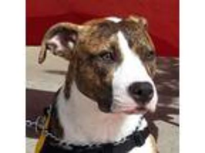 Adopt Maya a Brindle - with White Staffordshire Bull Terrier / Mixed dog in