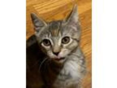 Adopt Hollyleaf a Brown Tabby Domestic Shorthair (short coat) cat in River Edge