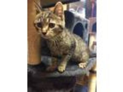 Adopt GRETCHEN a Domestic Shorthair / Mixed (short coat) cat in Wintersville