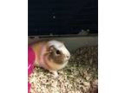 Adopt Maxine a Tan or Beige Guinea Pig / Guinea Pig / Mixed small animal in