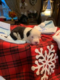 Old English Sheepdog PUPPY FOR SALE ADN-105351 - Old English Sheepdog Puppies