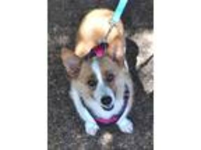 Adopt Winnie a Tan/Yellow/Fawn - with White Pembroke Welsh Corgi / Mixed dog in